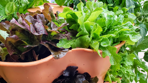 lettuce growing in the top of a Garden Tower®
