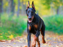 Load image into Gallery viewer, Doberman Pinscher Cross Diamond Painting Kit - DIY