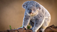 Load image into Gallery viewer, Koala In The Tree Diamond Painting Kit - DIY