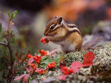 Load image into Gallery viewer, Chipmunk Cute Diamond Painting Kit - DIY