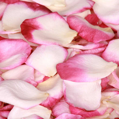 Burgundy Pink and White Rose Petals