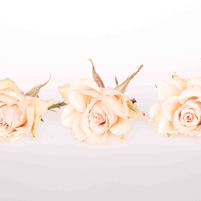 Cream Dried Roses