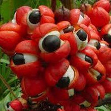 Load image into Gallery viewer, Guarana (Paullinia Cupana) - 2 oz. - Spirit Rising