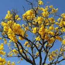 Load image into Gallery viewer, Trumpet Tree / Tahuari / Pau de Arco (Tabebuia)  - 2 oz. - Spirit Rising