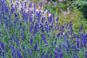 Getting to Know: Lavender