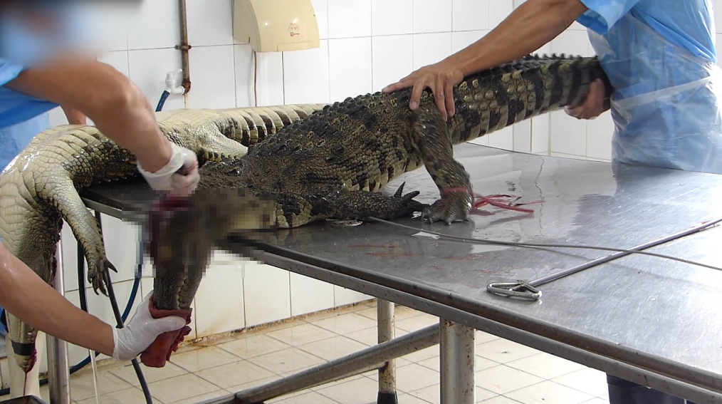 say not leather - crocodile being skinned for leather