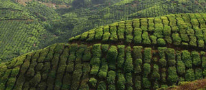 Tea farms