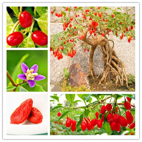 100Pcs Goji Berry Chinese Wolfberry Bonsai  Herbs Bonsai Potted Plants Home Garden Outdoor House Plants, Most Popular Heathy