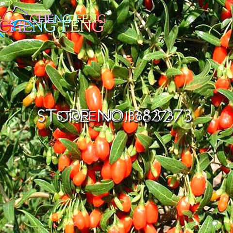 50 Rare Chinese Goji Berry bonsai Wolfberry bonsai Most Popular Heathy Berry Plant Tree Dwarf Bush Rich In Antioxidant * Heirloo