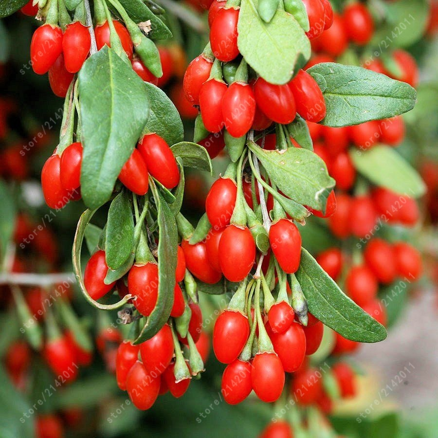200 pcs/bag Goji Berry plants Chinese Ning xia Goji Berries wolfberry bonsai Health Benefit Medlar Lycii herb for health