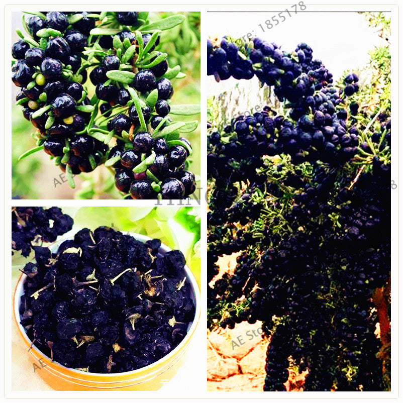 100pcs/pack goji berry Bonsai wolfberry Plants, Wolfberry Shrub Bush Fruit for home and garden
