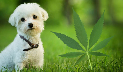 Importance of CBD for the health of pets
