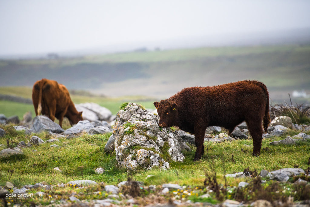 Ireland Travel Photography Cows