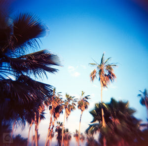 Baja Palms #2  //  Film Photography