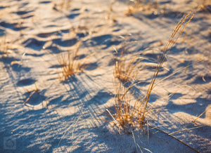 Cate Brown Photo Beach Grass in Gold #2  //  Film Photography Made to Order Ocean Fine Art