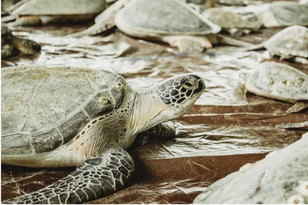 Texas 'Cold-Stun' Of 2021 Was Largest Sea Turtle Rescue In History, Scientists Say