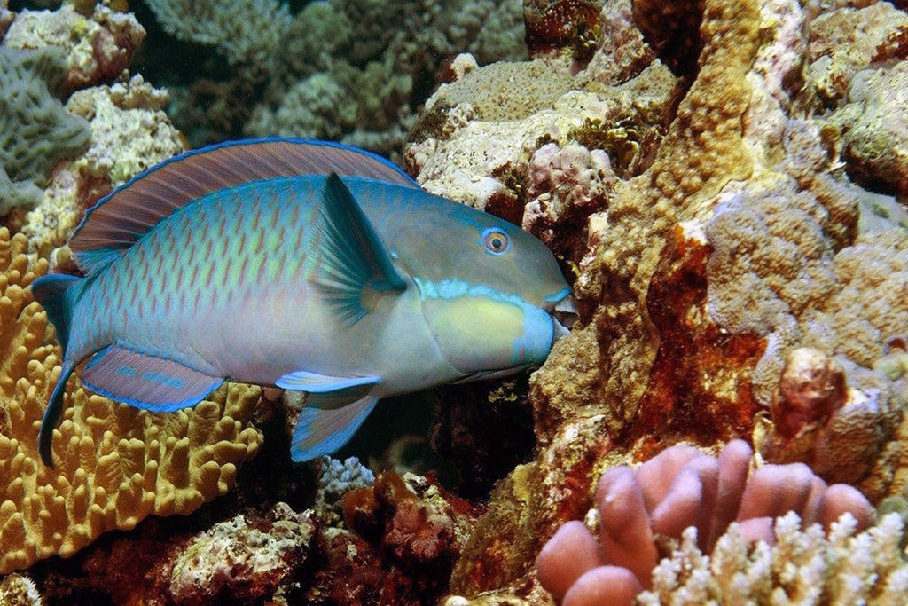Parrotfish May Help Revive Dying Coral Reefs