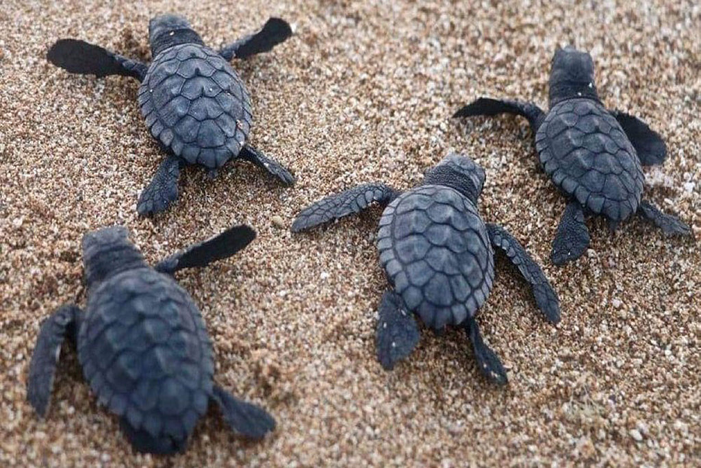 On Beaches Quieted By The Pandemic, Lebanon Sees Sea Turtle Boom