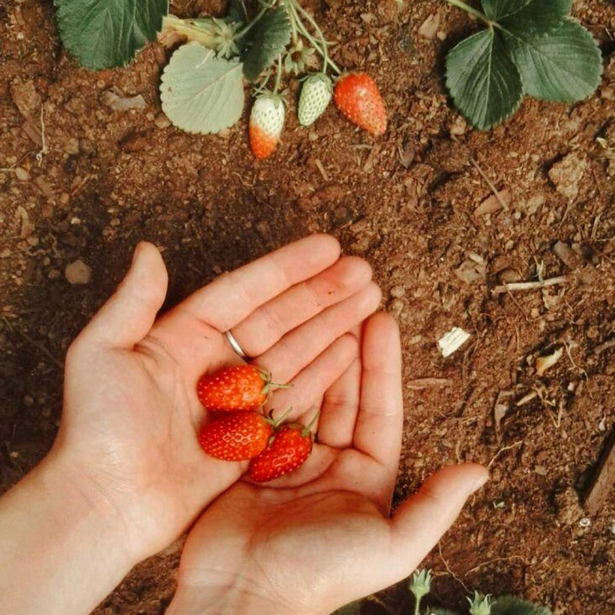 Use compost on your home-grown fruits and vegetables