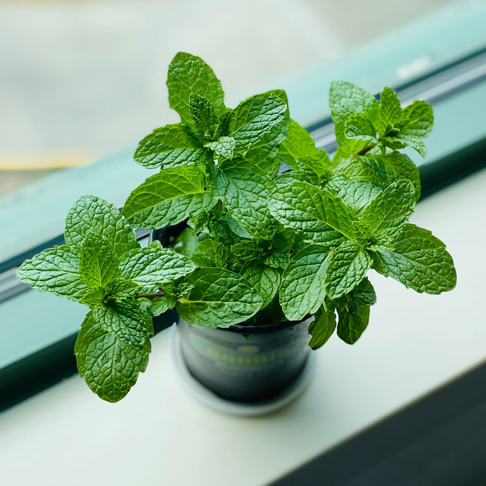 indoor potted mint