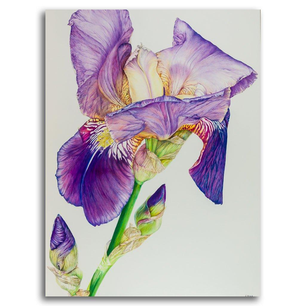 Bearded Alcazar Iris #1 Coloured Pencil on Paper on Cradled Board by Jeannette Sirois