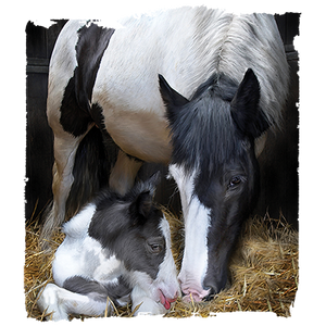 Mother And Baby Horse Heat Transfer
