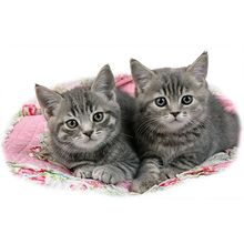 Load image into Gallery viewer, Two Gray Kittens Heat Transfer