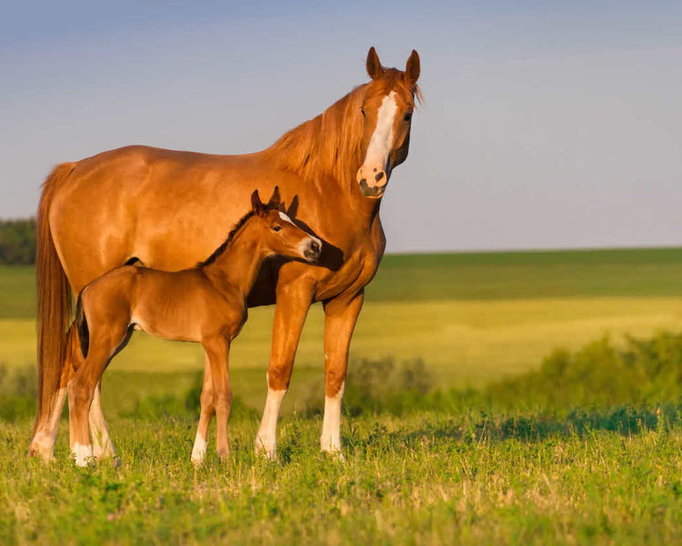 Is My Mare Prepared for Breeding?