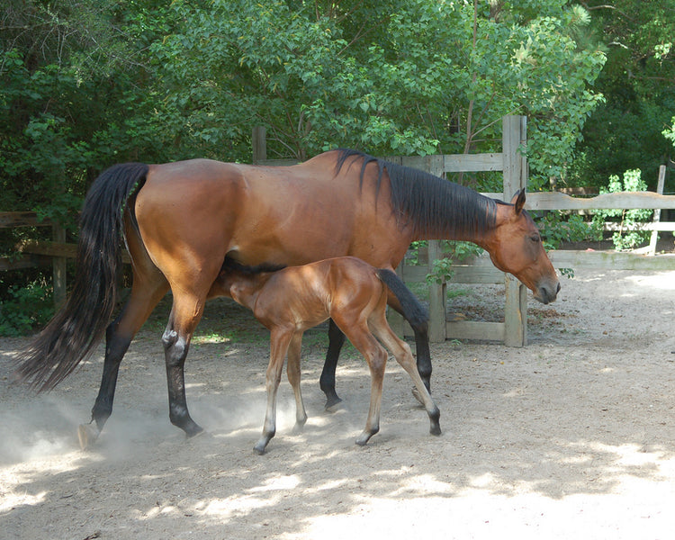 Colostrum for Foals: Does Mama's Gut Health Make a Difference?