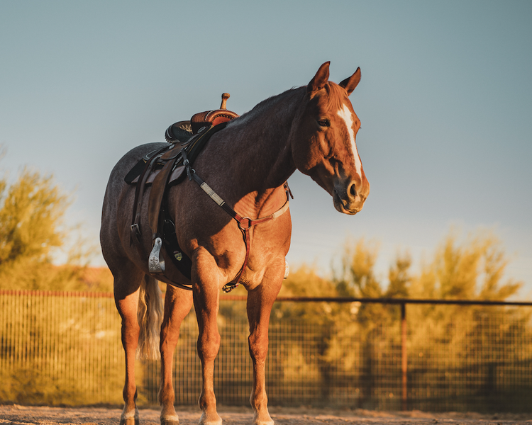 Is high fat horse feed the answer for muscle disorders?