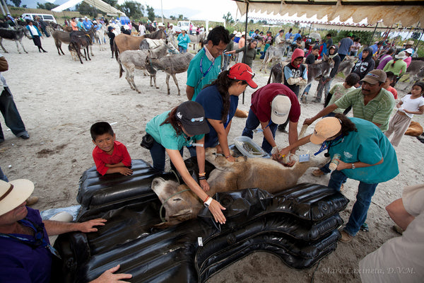 Several people leaning over donkey and providing care.
