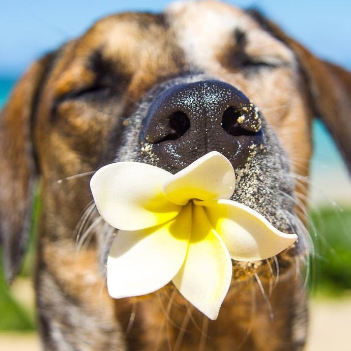How Ranger, the Hawaiian Catahoula, Got His Name