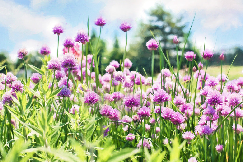 chives_with_purple_flowers
