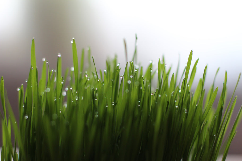 Wheatgrass with droplets of water