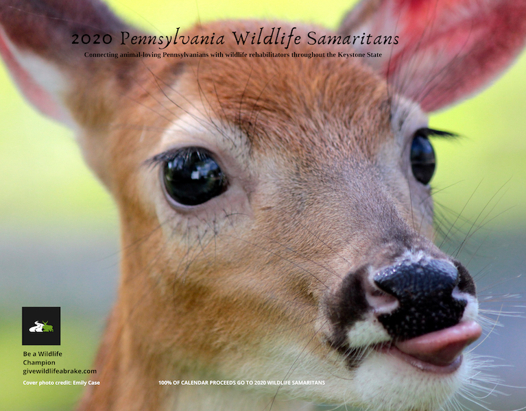 white-tailed deer fawn with tongue sticking out