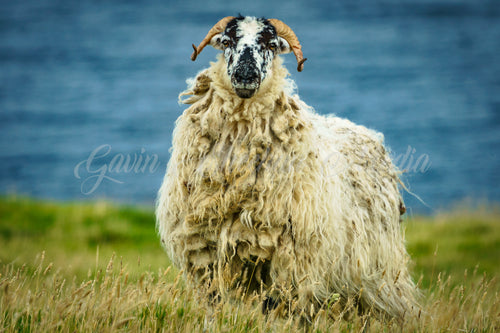 Blasket Island Sheep
