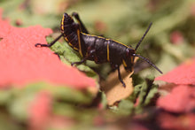 Load image into Gallery viewer, Eastern lubber grasshopper