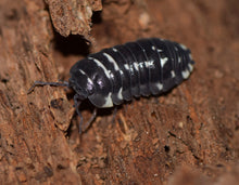 Load image into Gallery viewer, Armadillidium corcyraeum