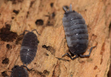 "Load image into Gallery viewer, Porcellio scaber ""piebald"""