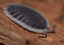 Load image into Gallery viewer, Porcellio werneri