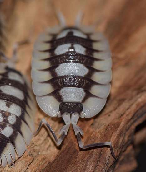 Porcellio expansus