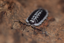 Load image into Gallery viewer, Porcellio flavomarginatus