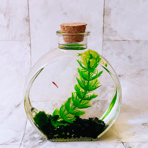 Hawaiian Opae Shrimp LIVE Terrarium, Circle