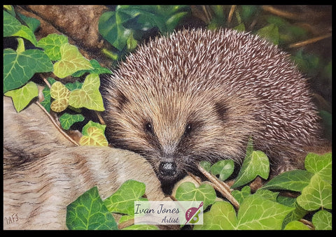 Hedgehog in ivy. Pastel artwork. Ivan Jones artist