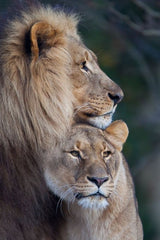 Lion and lioness reference photo Ivan Jones pastel artist
