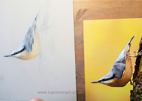 Nuthatch WIP with reference photo by Erik De Rijk Ivan Jones pastel artist