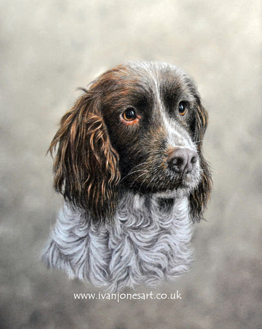 Springer spaniel pet portrait commission Ivan Jones pastel artist