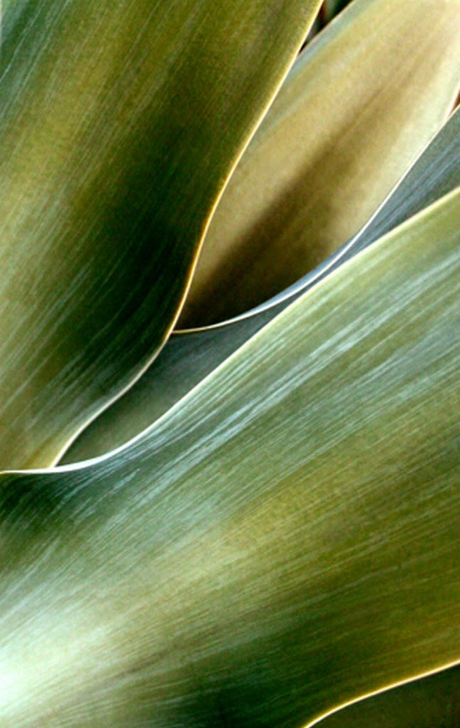 Agave P0013