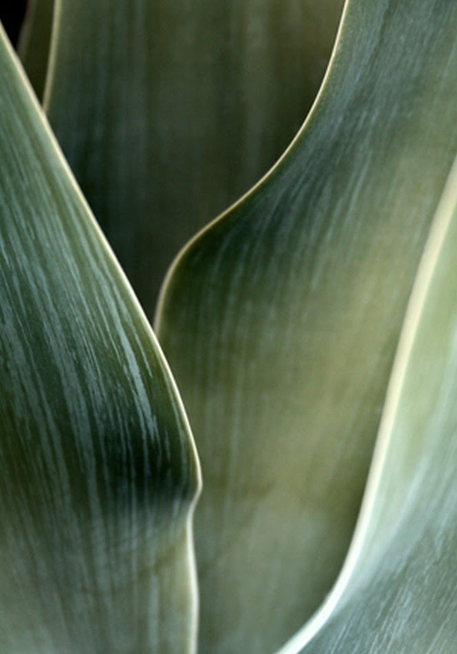 Agave P0012