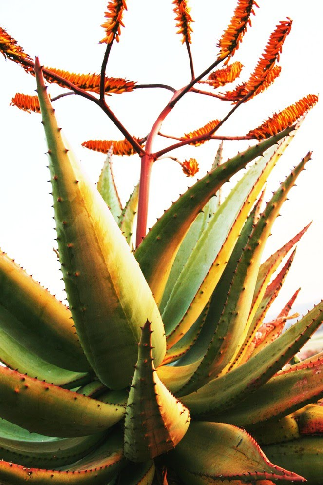 Aloe in Bloom P0085